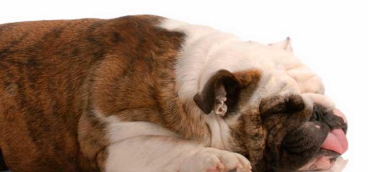 Травматический миокардит (ушиб миокарда) у собак