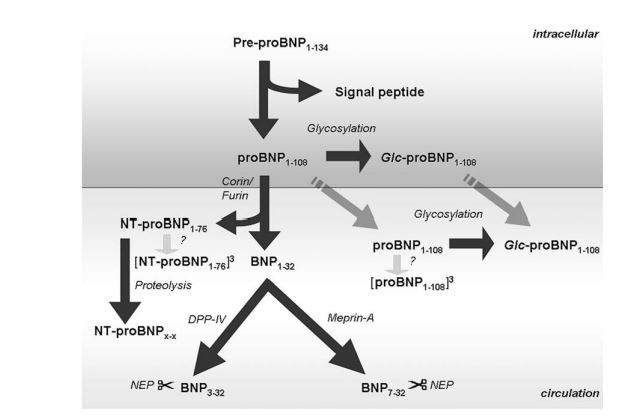 The cleavage process of pre-proBNP